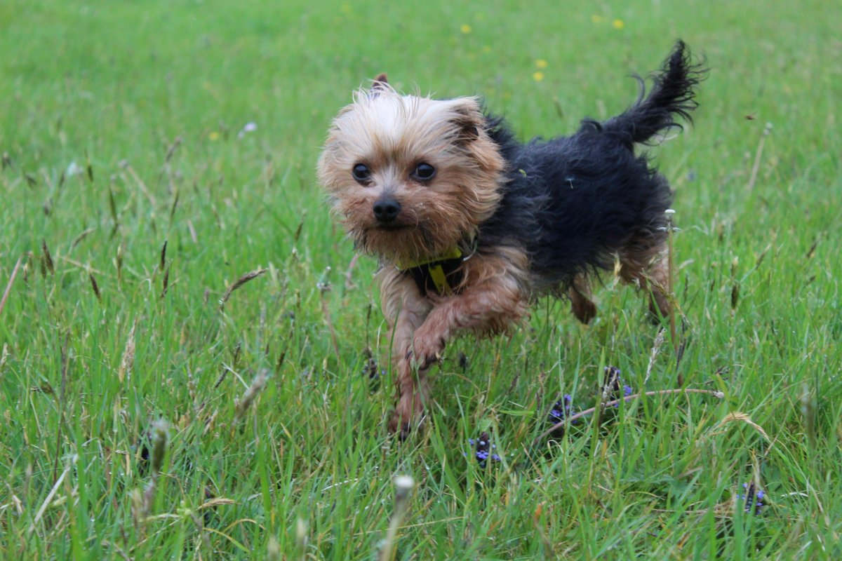 Trying to find that #MondayMotivation ?  if Harley can do it, so can YOU @DogsTrust #adifl #exercise #yorkie #cute #walkiespic.twitter.com/fIt0jXfaqr