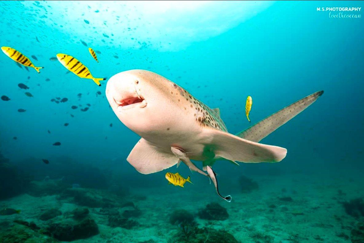 Marine Life Monday   @ms.photography_lovetheocean  #marinelife #sharks #leopardshark #zebrashark #swimwithsharks #diving #freediving #scubadiving #oceans #explore #sharkdiving #underwaterphotography pic.twitter.com/r4O6KVQJap
