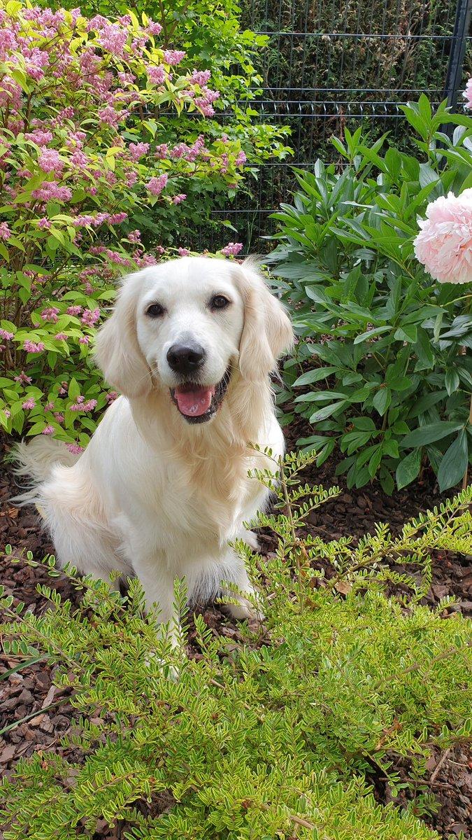 I love flowers ! Do you ? #GoldenRetrievers #Metz #Moselle #France #dogcelebration #dogsoftwitter #potd #picoftheday #spring #lovepic.twitter.com/JakW2P6QZ9