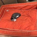 ベットの大きさと体の大きさが比例しない堂々と犬の寝床でくつろぐ猫