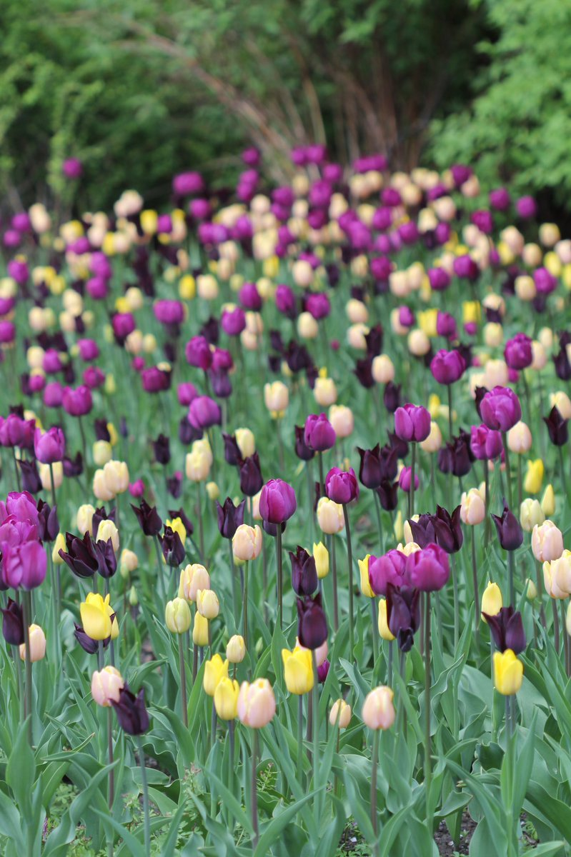 Heavenly field of #Tulips in #Botanicalgarden in #Oslo. I'm delighted that they've opened up again! pic.twitter.com/GVGeNQvnUt