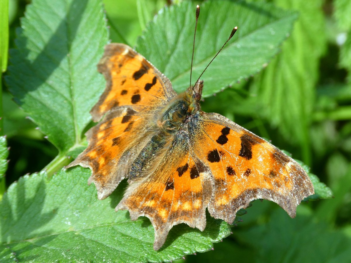 A lovely Comma #butterfly basking in the sun, from my walk today. A great distraction from other stuff.  pic.twitter.com/b6WdVLPqBW