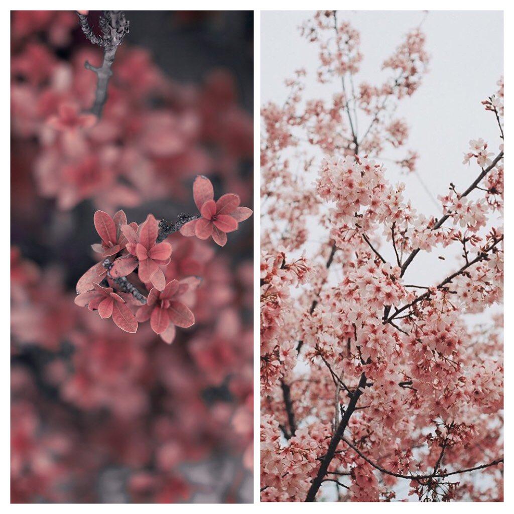 I tried 2.0 ¯\_(ツ)_/¯. #photography #cherryblossom pic.twitter.com/jViIiaPPEX