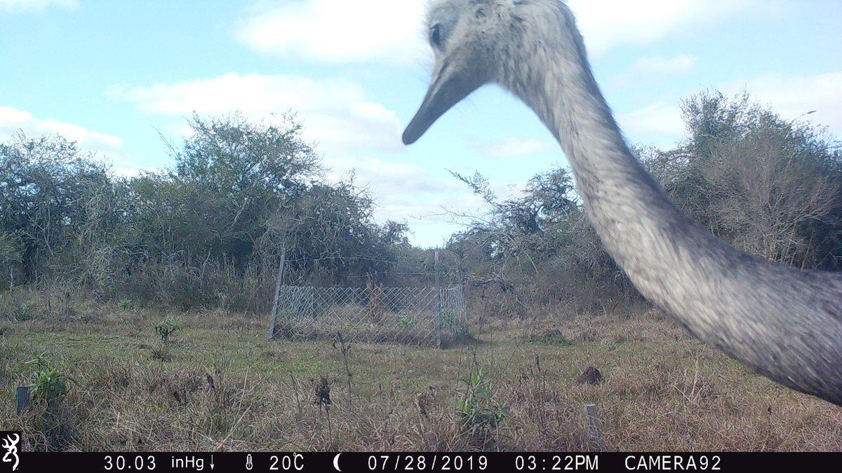 Warning: gigantic #bird trying destroy my plot!   #CameraTrapQuarantine #Argentina pic.twitter.com/IJqtBXbe56