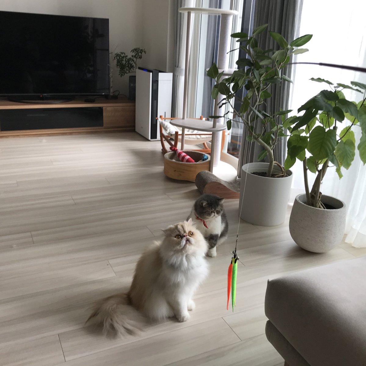momotaro&shishimaru『猫釣り中だよ!』  #猫釣り #猫 #ねこ #ネコ #ねこ部 #にゃんすたぐらむ #はなぺちゃ #エキゾチックショートヘア #ペルシャ猫 #catfishing #cat #catstagram #catphoto #catpic #catlife #catlove #dailycat #instacat #meow #meowstagram #exoticshorthaircat #persiancat pic.twitter.com/0oGdUmImKu