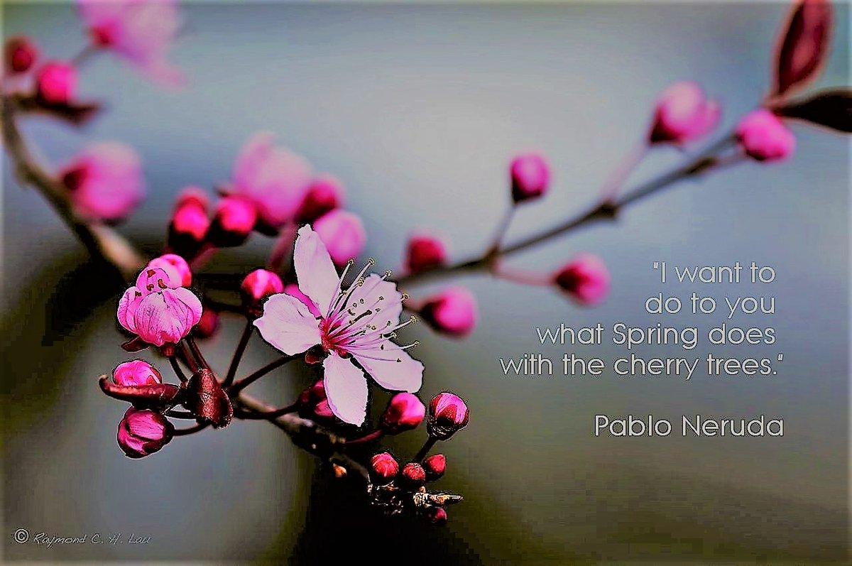 """I want to do to you what Spring does with the cherry trees."" ~ Pablo Neruda  #CherryBlossom #Sakura #PabloNerudapic.twitter.com/joRCvO1lMN"