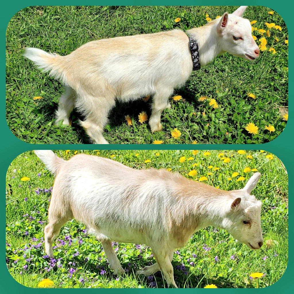#goats #growinguppic.twitter.com/nE1trVnIxK