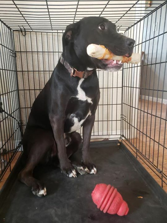 Home at last! Zeus Wayne (awesome name!) the gorgeous Labrador Retriever/Great Dane Mix from #Pekin #IL is home safe & sound after his over two week adventure! Missing 05/08/2020. Reunited 05/24/2020. Welcome home Zeus Wayne!pic.twitter.com/BVKtBgivYE