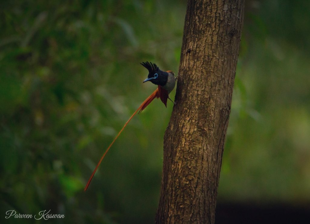#Paradise fly-catcher. In paradise, showing some talent. Beauty, isnt it.  @worldbirds32 pic.twitter.com/a4sjMHUpgt
