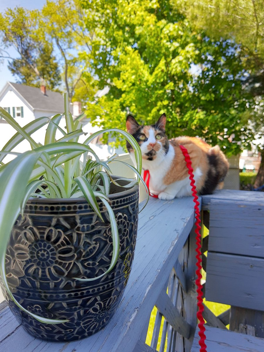 I know I have plenty of grass to eat out here, but I noticed meowmy's plant waiting for sun, and I'd much rather destroy her hard work 😹 Munch Munch Munch!  #tamadoricollection #calicocat #cat #cats #catsofinstagram #CatsOnTwitter #CatsOfTheQuarantine #catsoftwitter #Caturday https://t.co/CyxPNBRW1P