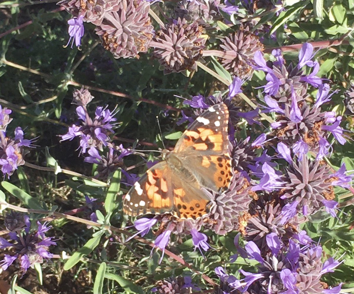 It's a #SoCal Painted Lady morning pic.twitter.com/DaJR4I0Owp