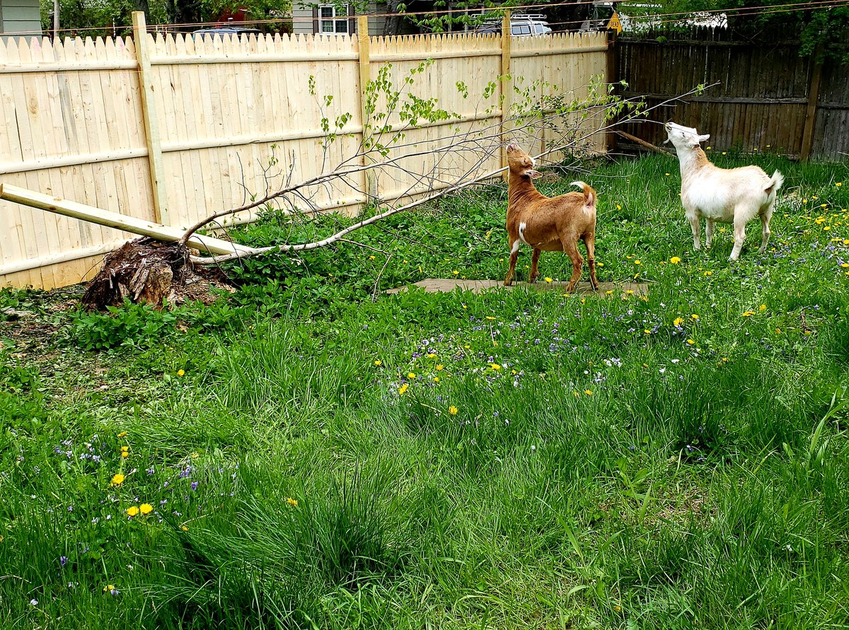 Getting there! #goats with a proper fence!pic.twitter.com/EqyPKXr0Lr