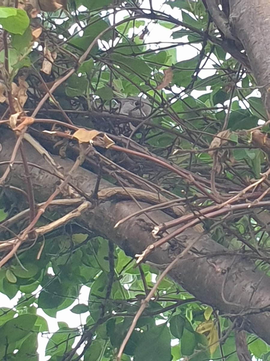 Bottom of my garden...spot the dove in their nest? #springtime  pic.twitter.com/DbUbvp0hCk