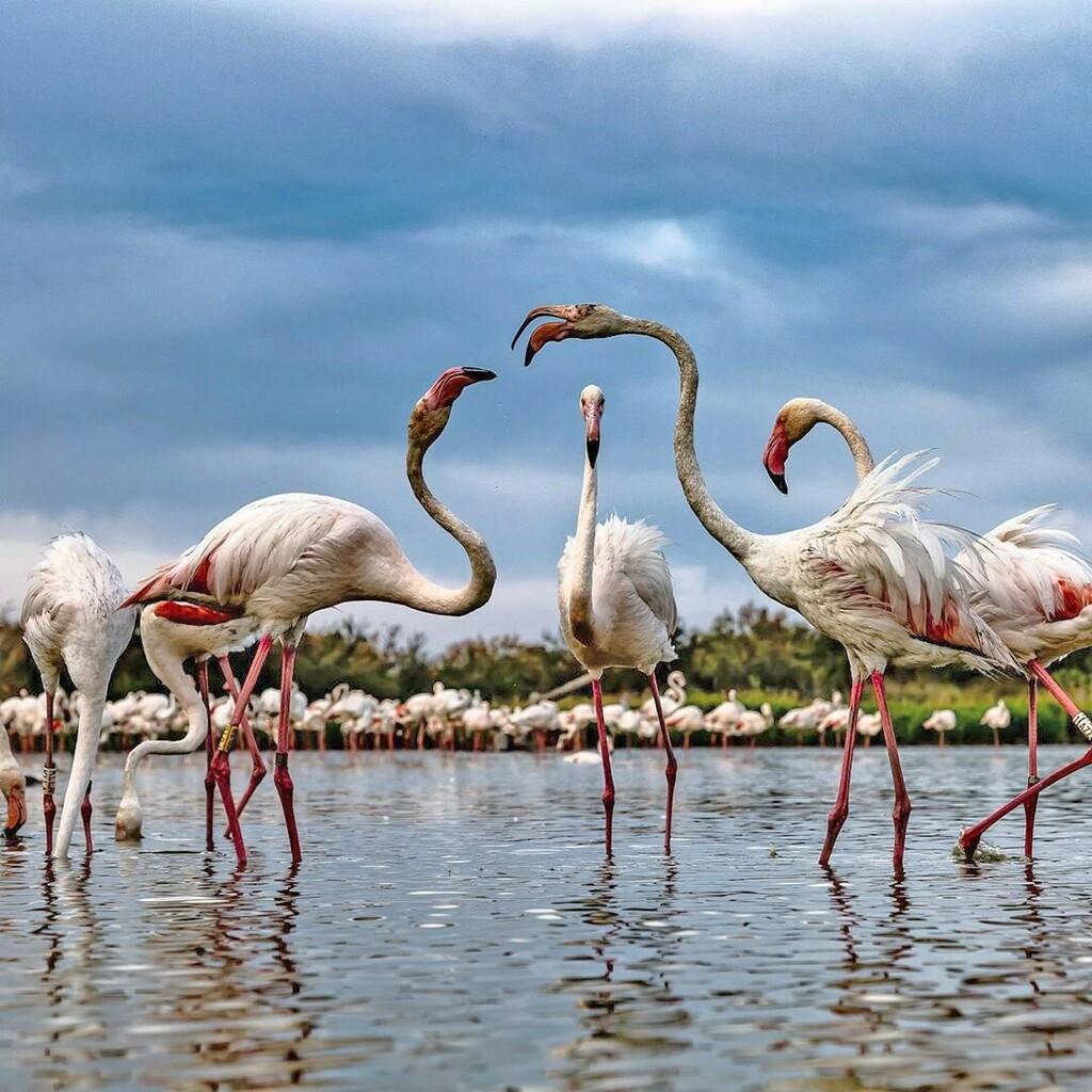 Flamingoes squabble in Parc du Pont de Gau, in Saintes-Maries-de-la-Mer // Thanks to @sergemelesan for the shot. Use #NGTUK to share your photos . . .  #stayinspired #natgeo #nationalgeographic #natgeotravel #travelgram #instatravel #travellersofinstagra… https://instagr.am/p/CAnhvdkHmcJ/pic.twitter.com/QzSrUtZG0B