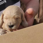 Image for the Tweet beginning: 2 week old Labradoodle/Toy poodle