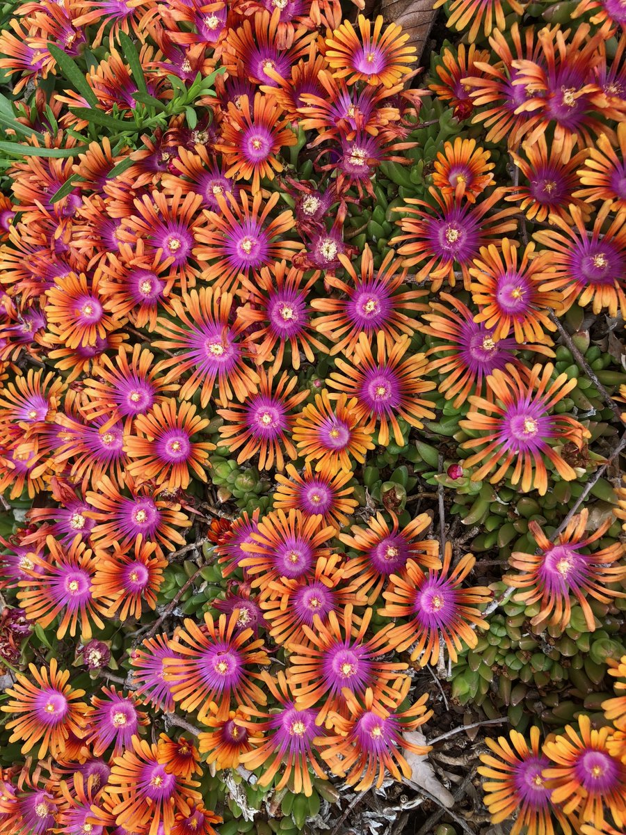 Delosperma 'Fire Spinner' blooming @redbuttegarden flowering like crazy. This wonderful succulent groundcover was bred by #WaltersGarden  #Aizoaceae family<br>http://pic.twitter.com/PWD4NJJgcd