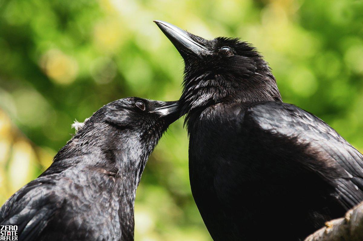 Take care of each like the Crows do, Seattle  #seattle #crow #corvid #birds #wildlife #zerostatereflex #canon #5dmark3pic.twitter.com/j6UbVrj1Xz