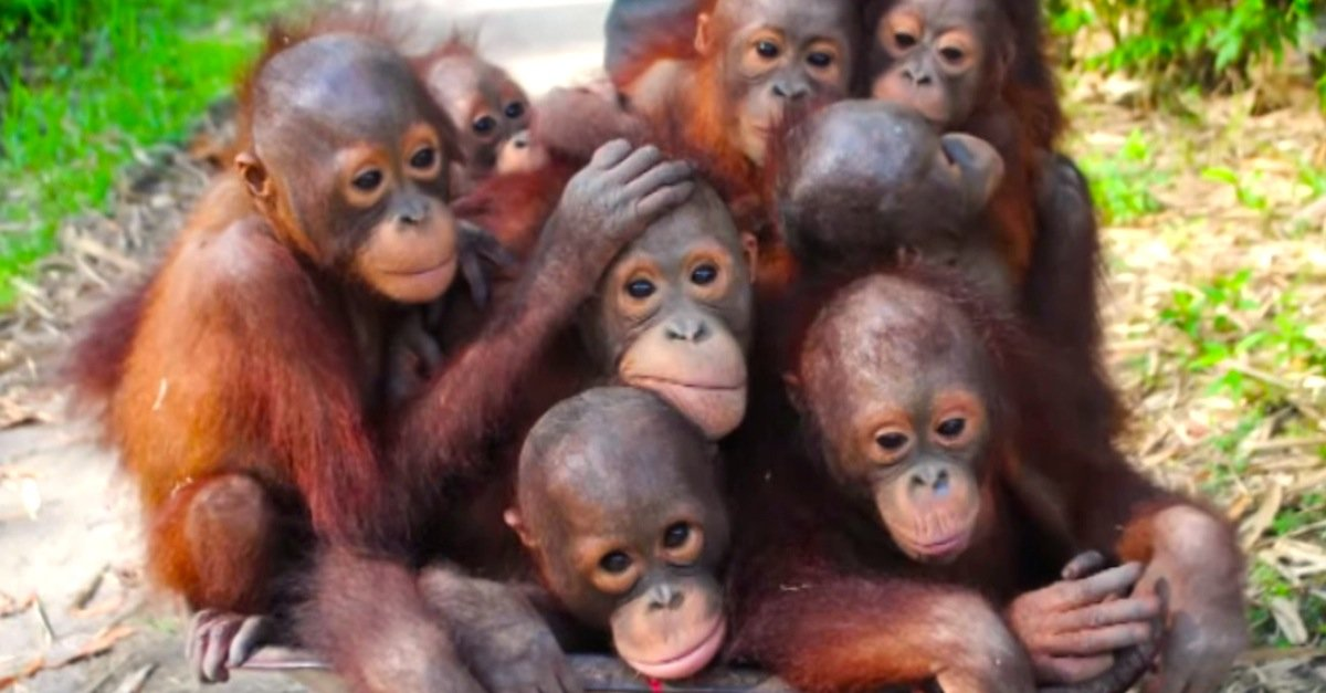 A group of orangutans is called a 'congress'