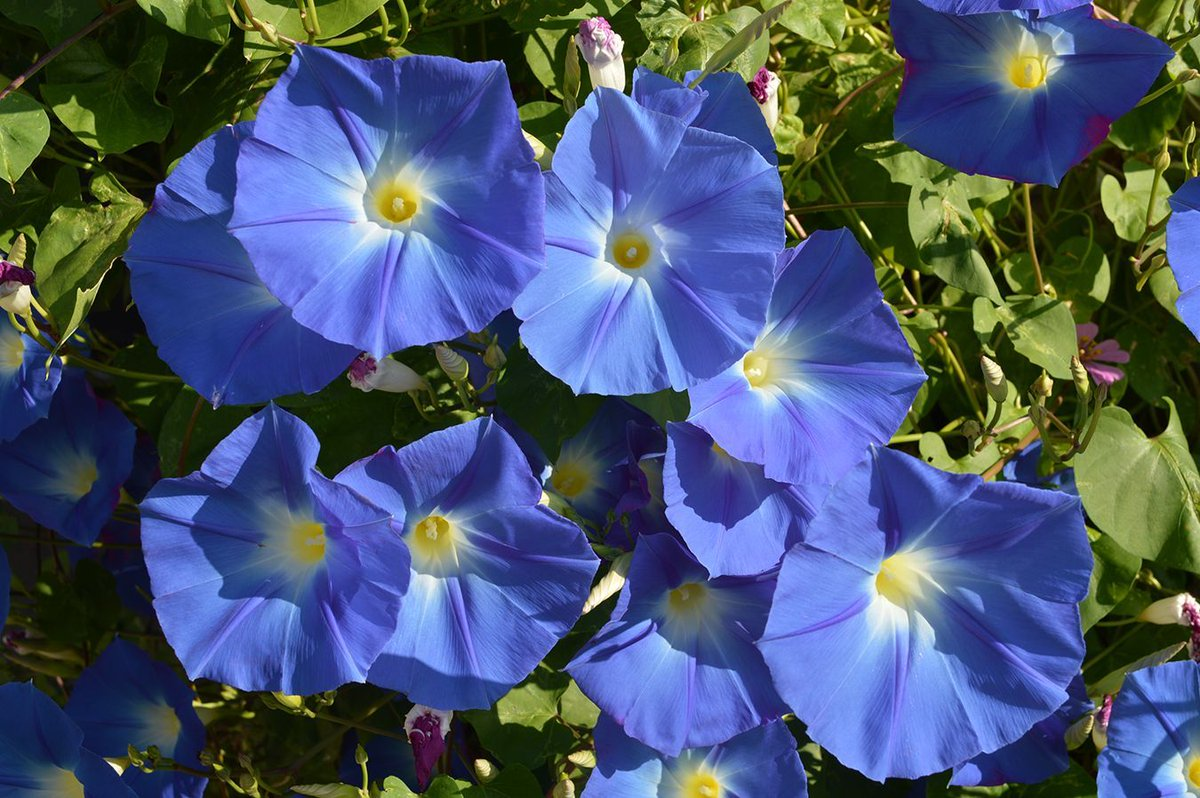 Heavenly Blue Morning Glories. I have to have these in my garden every year. I like to plant them on the same trellis with Moon Flowers. Then we have morning glory blooms during the day and moon flowers during the evening/night. #flower #Flowers #GardenInspirationpic.twitter.com/DbXODMHgzD