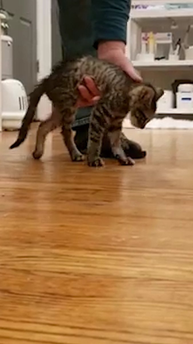 Watch a tiny paralyzed kitten learn to jump — and become a foster dad 😻