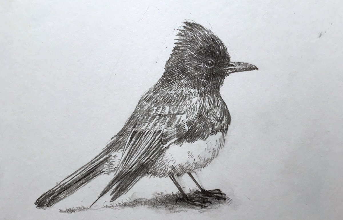 A drawing a day to keep the eye on the page. Day 68. A black phoebe. (As requested by  @Brian_Thill.)