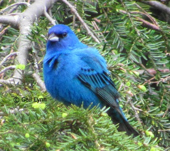 #TwitterNatureCommunity #birders #birdwatching Seeing a lot of #IndigoBunting today in my yard. So happy they have been regulars here for about a month now. #Spring #nature pic.twitter.com/inCvC6wpd5