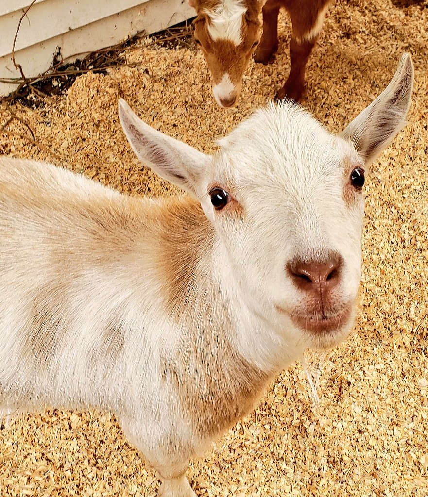 I just #sneezed all over Mom's face and I think I'm pretty #funny! #goats... always the #jokesters. Give that boy a tissue!pic.twitter.com/7tO86FSBvW