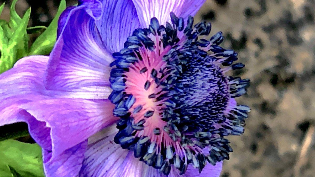 Purple people eaters ........,,.; love it really #purple #flowers #anenome #gardening #gardenlovepic.twitter.com/c9ekSQG7jB