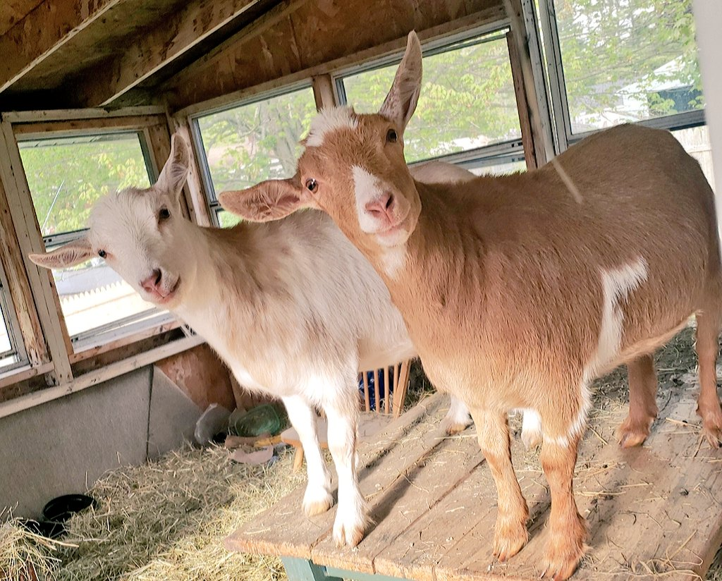 Is it #dinner time? #goats are always ready for #food! #Foodiespic.twitter.com/J7ctkyc8jZ