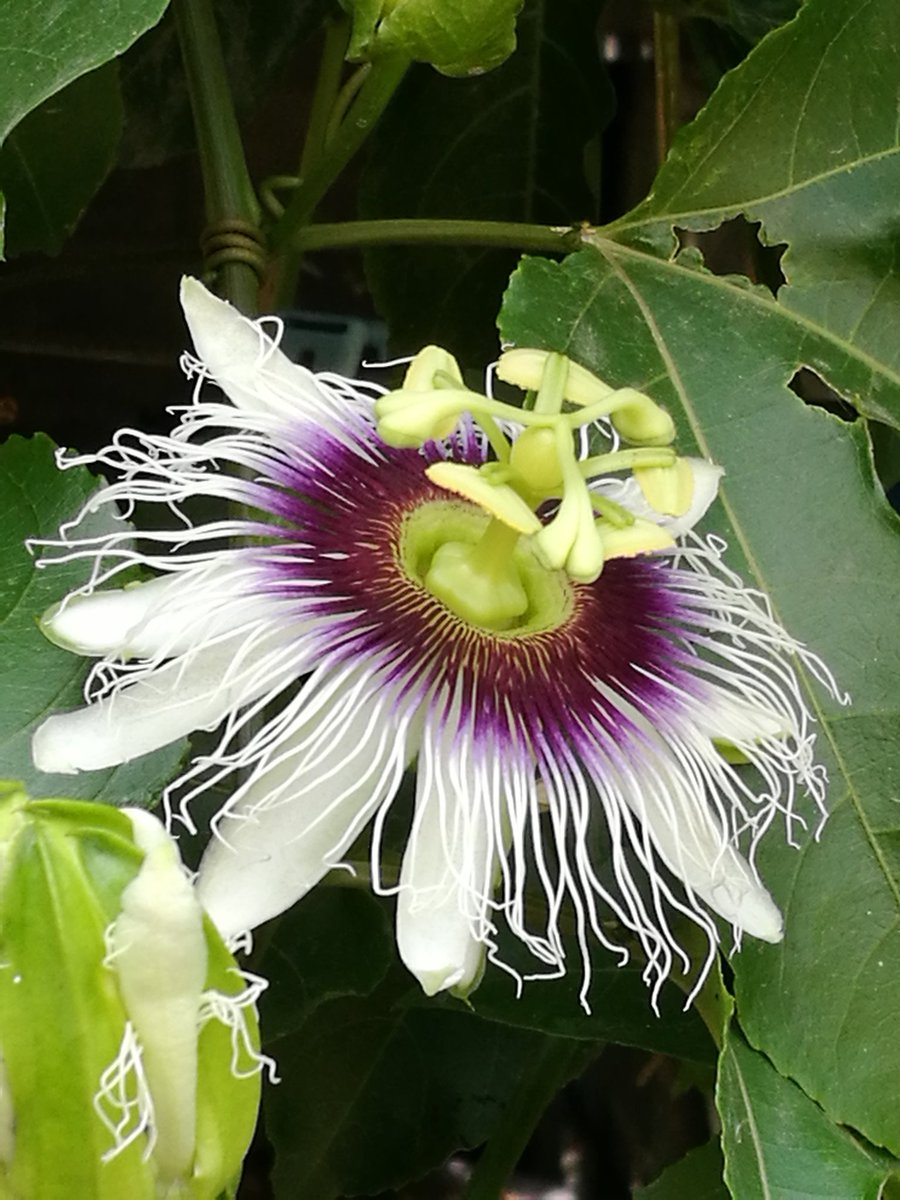 Me encantan las flores del maracuyá y parece que tendremos una buena cosecha este año.  #EnCasa  #Naturaleza  #SinFiltro pic.twitter.com/2z9fY9rO9D