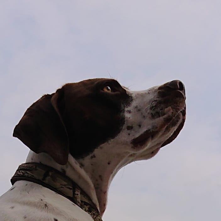 #おはようございます #今空 #Sky #曇り空  緊急事態宣言が解除されたけど… 神奈川県民だし… #今日も元気に頑張ろう  #イングリッシュポインター  #Gentle #ジェント  #EnglishPointer #dog  #Daliy #LoveDog #family  #天真爛漫 #元気印  #モデル犬 #犬  #大型犬のいる生活  #大型犬じゃないじゃんpic.twitter.com/AwOzzipHJu