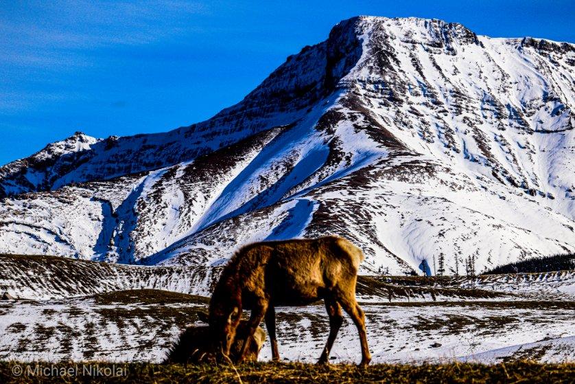 I love watching #wildlife .  A few more Elk grazing near Cadomin, Alberta   #yeg #roadtrippin #explorealberta #Canon #canoncanada #MondayMotivaton #nature pic.twitter.com/o4R7YJ6eYI