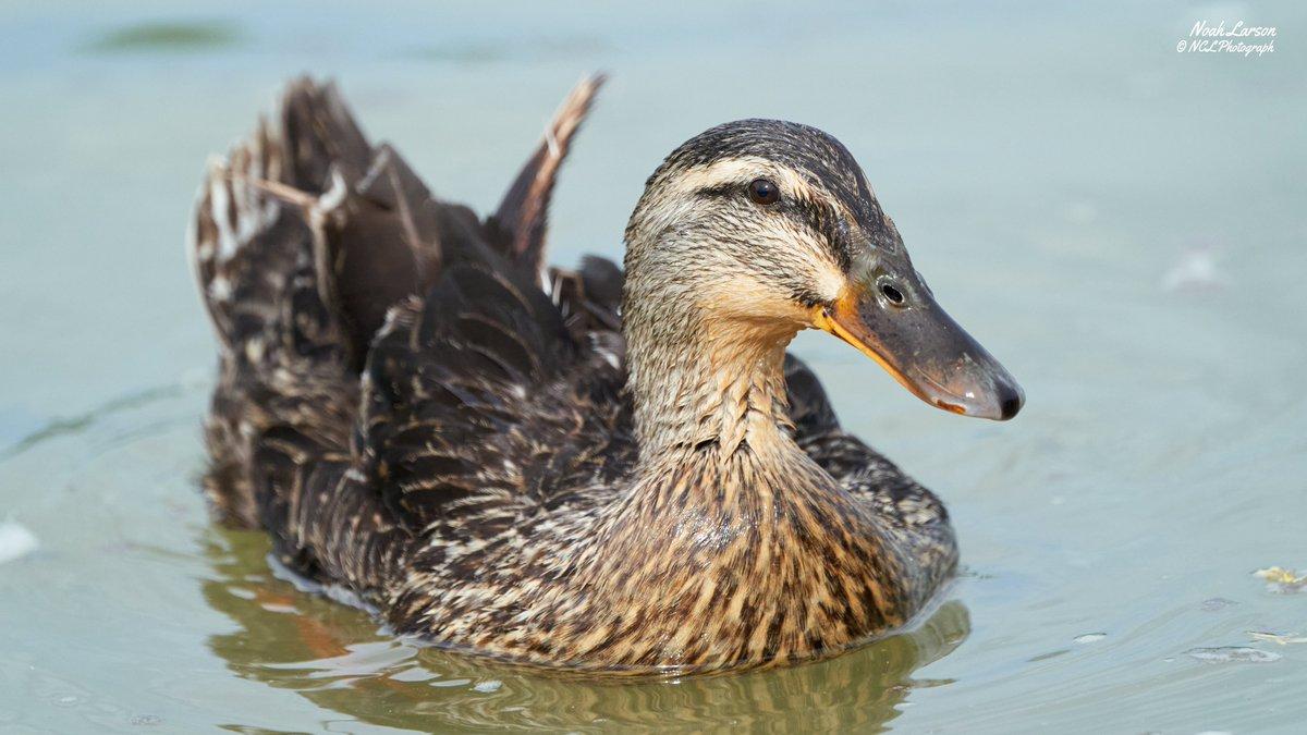 Closeup of Female Mallard duck having a swim in a lake.  #birds #NaturePhotography #tuesdayvibes pic.twitter.com/NPHtbTaZF6