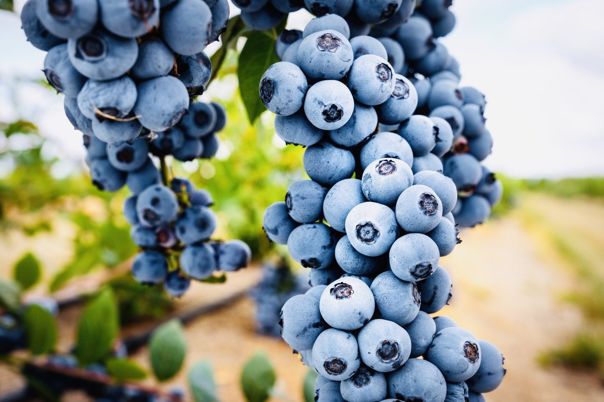Is #Titanium going to be a major international #blueberry variety in the near future? With #yields reported in excess of 20 tonnes per hectare, you can see why we are getting great interest from our international contacts for licences.  #Titanium #blueberry #globalplantgenetics