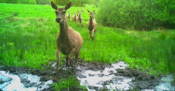 @BBCSpringwatch our wildlife camera captured these #RedDeer at our conservation site in Grindleford. Did you know we own 46.5acres of land outside of the park used purely to conserve British wildlife. Thank you, your park admission helps us to manage this! butterflyhouse.co.uk/wildlife-conse…