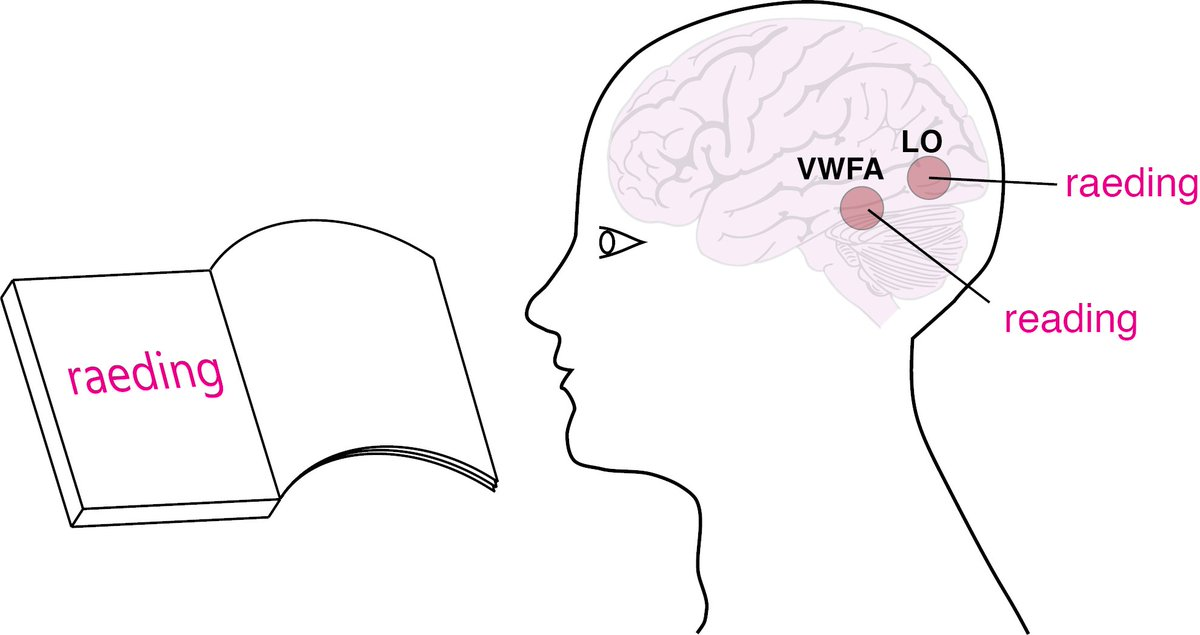 How do we read jumbled words effortlessly? In a new study, researchers from IISc tested to see if viewing a jumbled word activates a visual representation in the brain, which is matched to stored words iisc.ac.in/25341-2/