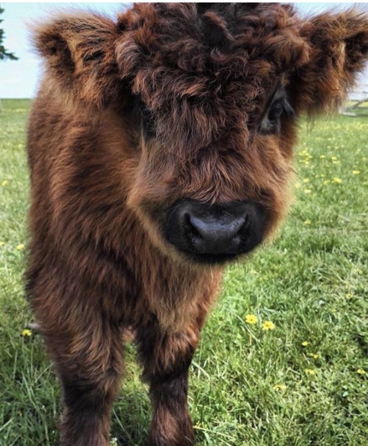 Happy Tuesday #coosday 🐮❣️everyone. Have a lovely day #TuesdayMotivation #BeKind #HighlandCow #cow #Scotland