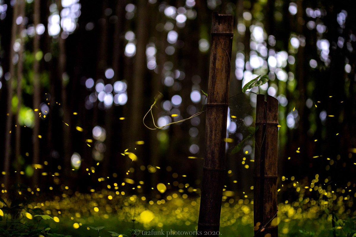 今年のヒメボタルはじめました。静かな空間に光るホタルは何時間でも見ていられる。一枚撮りです。 #蛍 #ヒメボタル #東京カメラ部 #岐阜 pic.twitter.com/KFC8UTyvOQ
