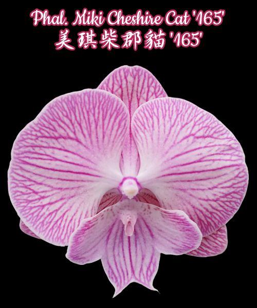 "Phal. Miki Cheshire Cat '165' 美琪柴郡貓 '165'  Mericlone  分生苗  Size 尺寸: 3""  #Phalaenopsis #PhalaenopsisHybrids #Orchids #交種蝴蝶 #蘭花   現貨商品 more https://www.mikiorchid.com.tw/hotpic.twitter.com/fMnGJ6SjFG"