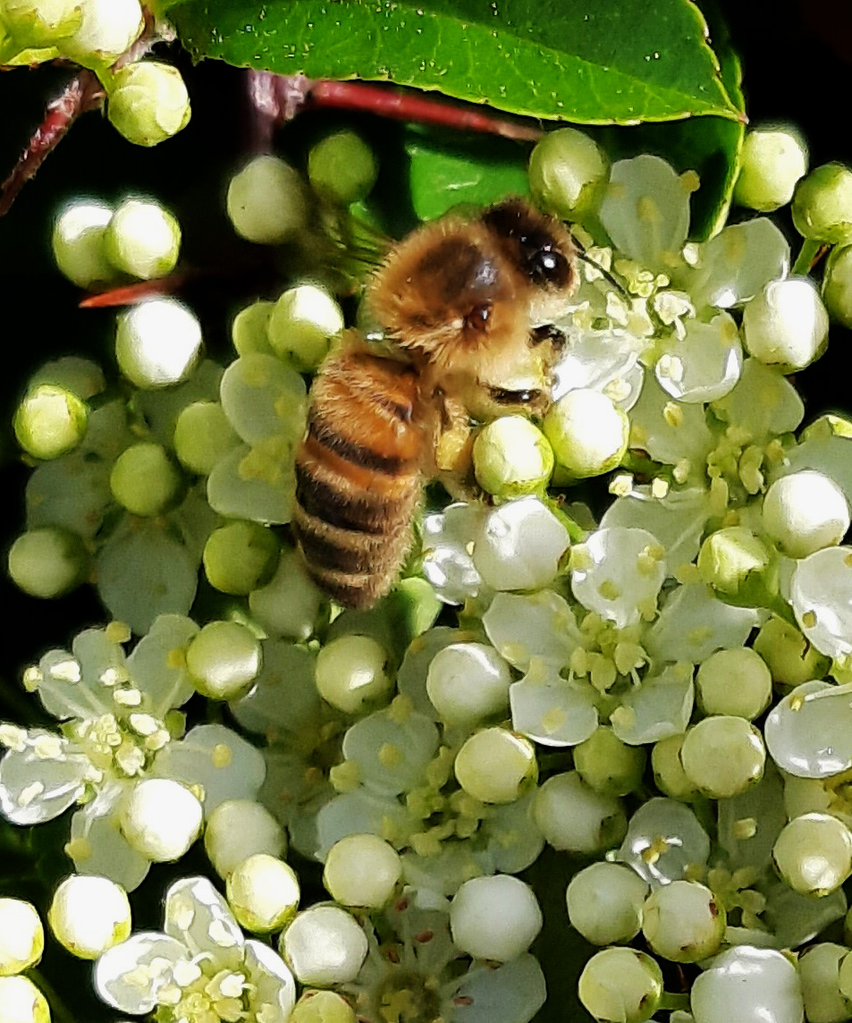 Day 62 devoted to bees. Pyracantha buds have opened and form a nice background for bee photographs. Clockwise from left, honey bee, white tailed bumble bee, tree bumble bee (the non native invader). All workers. Will upload to #beescount . #gardens #GardenInspiration pic.twitter.com/7VBeSuyFAy