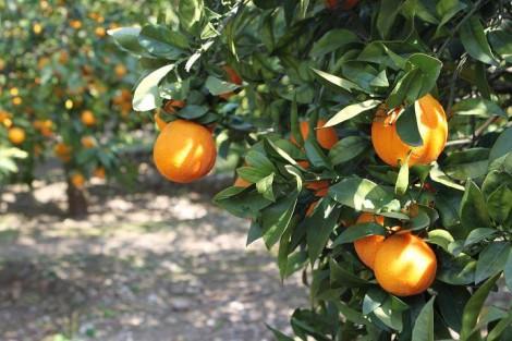 Virus della Tristeza danneggia gli agrumeti siciliani, la Regione stanzia 10 milioni - https://t.co/mehUb8DSYg #blogsicilianotizie