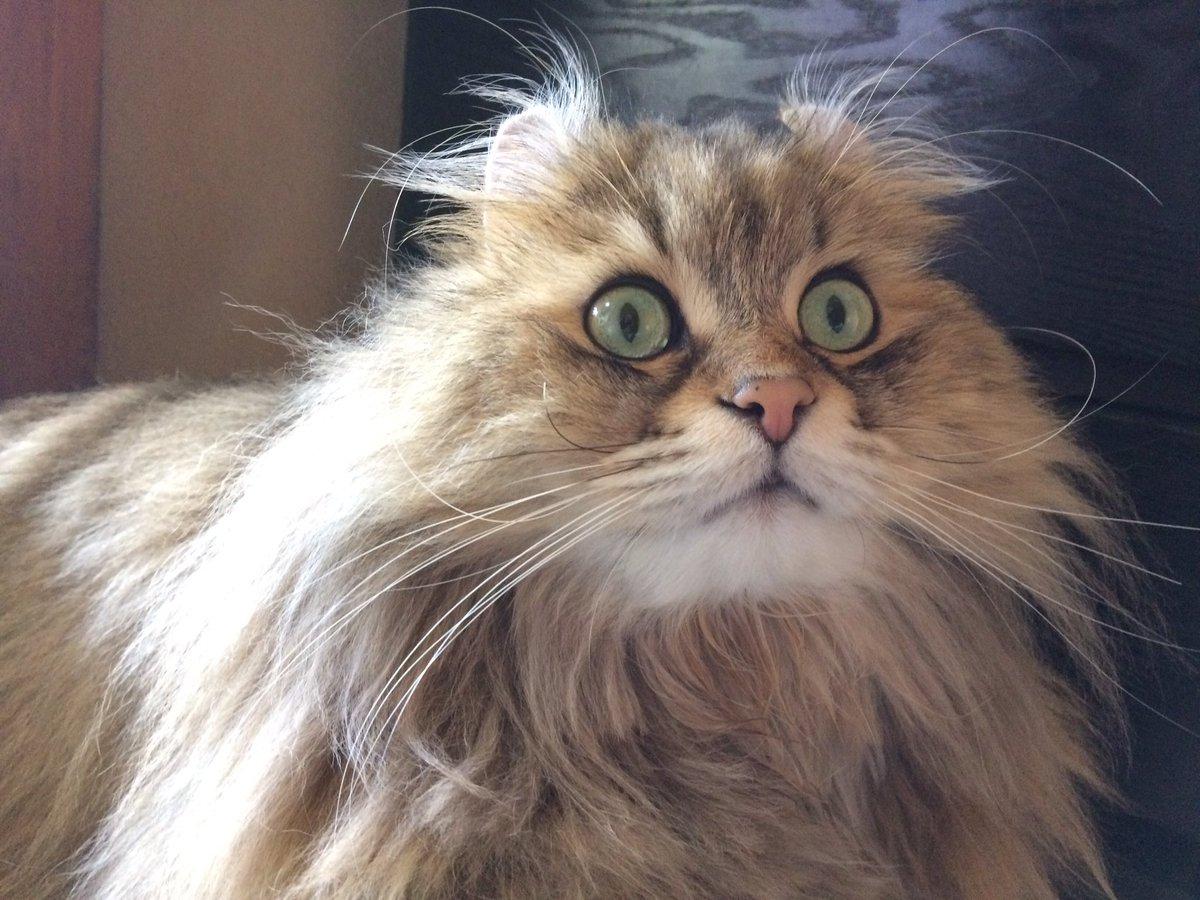 #アメリカンカール #猫   I'm still staring at the prey   #americancurl #cat pic.twitter.com/ZFBMus69Na