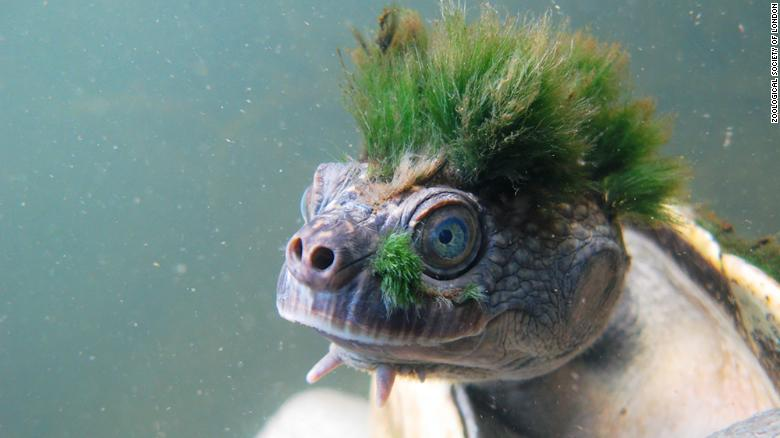 Human activity could drive extinction and destroy billions of years of evolutionary history, which has produced remarkable creatures such as the punk-haired Mary River turtle, the yellow-eyed Aye Aye lemur and the Chinese crocodile, researchers warn. cnn.it/2M1LrdP