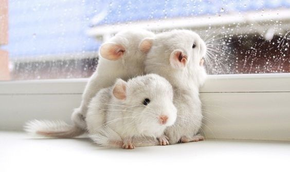 (Baby) chinchillas #cute pic.twitter.com/1bHS5w3WfE