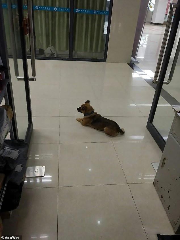 """انتظر هذا الكلب الوفي الذي يدعى """"Xiao Bao"""" صاحبه في مستشفى بالصين لمدة 3 أشهر، دون أن يعلم أنه مات بعد إصابته بكورونا، و كان الموظفين يطعمونه خلال تلك الفترة، و قبل أيام تم أخذه و رعايته من قبل جمعية حماية الحيوانات ❤. https://t.co/ogR5HRAyiK"""