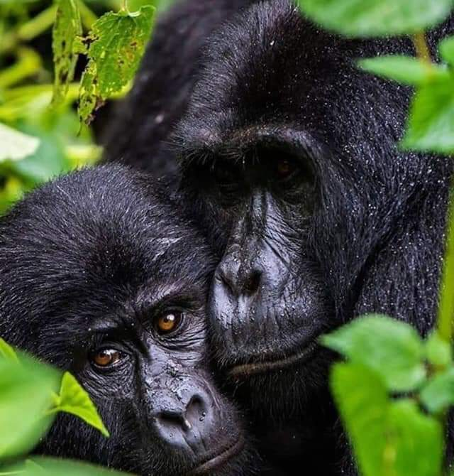 On your #GorillaSafari in #Uganda, the walk through this lush and impenetrable forest can sometimes be tough and long, but when you catch a glimpse of a magnificent #silverback and his family, your journey will be well worth the effort. #VisitUganda  #PearlofAfrica https://t.co/sIf6KGsRvN