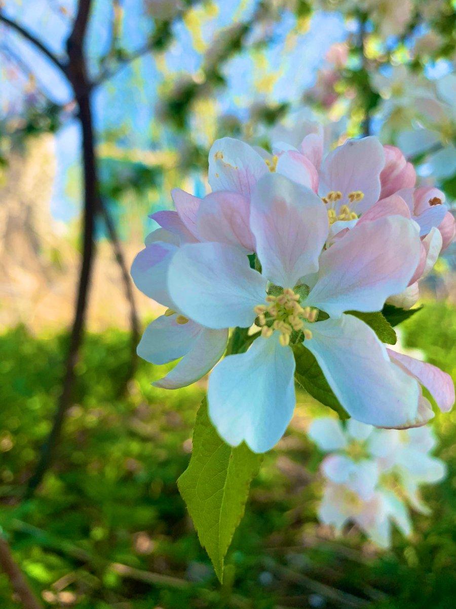beautiful morning! #toronto #flowerreport #cherryblossom pic.twitter.com/AN1XR0xddg