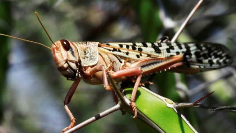 Desert Locust is the new fear to most of us, especially the farmers. We hear that Rajasthan,Gujarat, UP & MP sees them in large numbers. Read this Thread to know about these monstrous feeders and prolific deadly breeders! (Images-Internet)