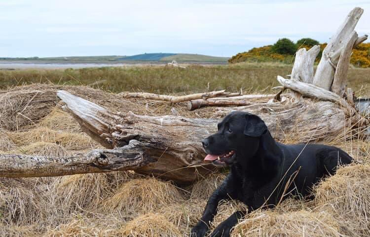 I've just had a lovely email  someone has asked if they can use my photo for a charity labrador calendar in 2021  I feel a bit special right now haha  Watch this space! #model #labradorretriever pic.twitter.com/bGRzevYQn0