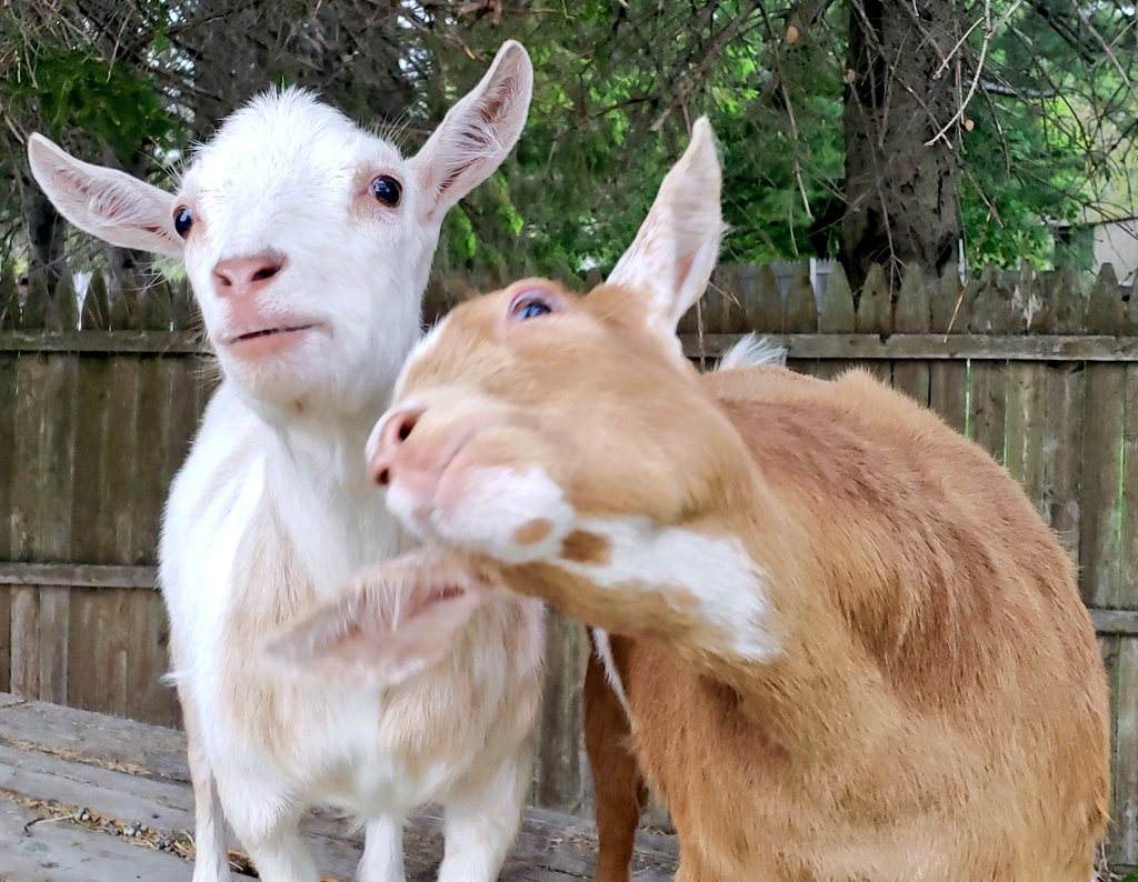 The trimmers just left... lets act like we are #insane! #goats faking being #traumatized pic.twitter.com/EWy1yYJMUc